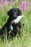 ASD Honden Dummy Eend - EZ-Bird_11