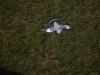Vliegende duif met Bouncer_11