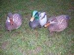 Featherlites-Fusion-Series-Ducks-(-3-stuks)